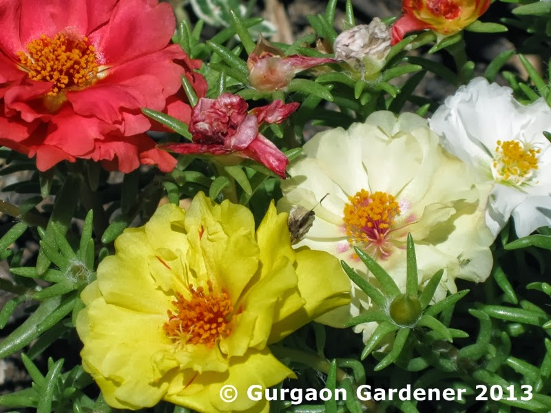 Gurgaon gardener summer sizzlers 3 portulaca for Soil gurgaon