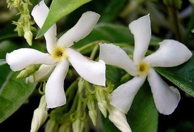 Rincospermo o falso gelsomino piante in fiore e il mio for Potatura gelsomino