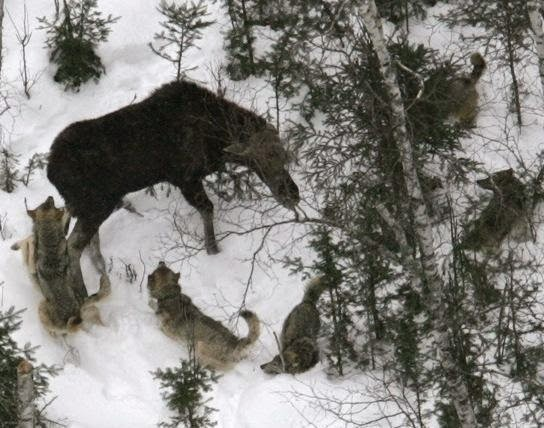 Moose decline: Wolves or climate change?