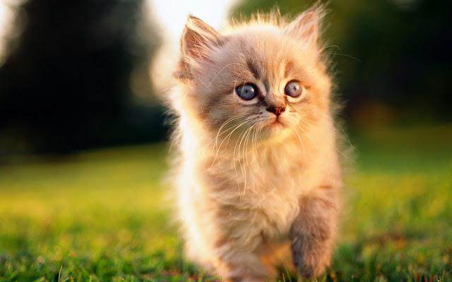 Tải Hình Nền Mèo Con Dễ Thương Nhất