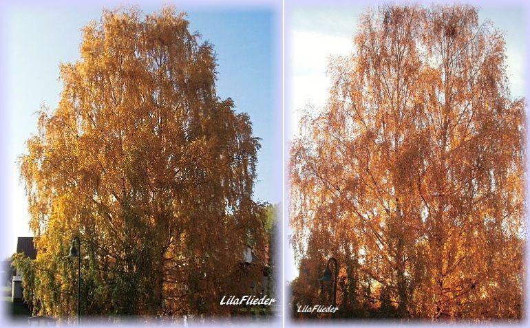 lila flieder garten die birke im nachbargarten. Black Bedroom Furniture Sets. Home Design Ideas