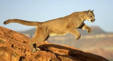 Amazing Jumping Puma PhotosPuma Animal Jumping
