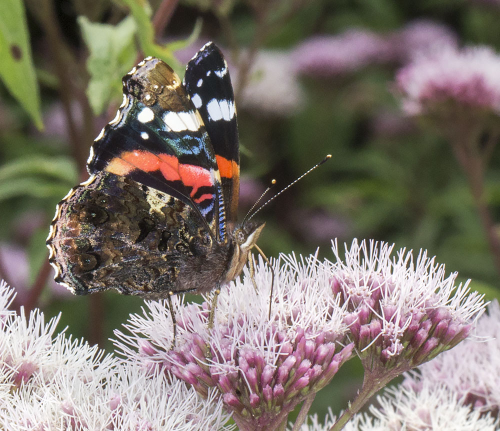 Red Admiral, Vanessa atalanta.  Nymphalidae.   High Elms Country Park, 4 August 2014.