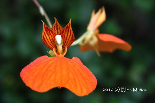 Comparettia Speciosa. Orchid snapshot