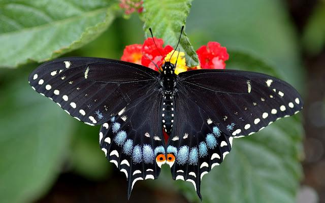 Mariposa Cola de Golondrina Fondos HD