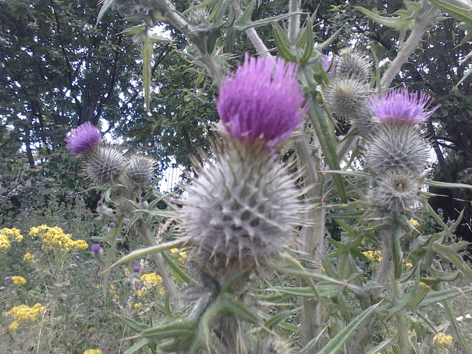 Operation Highlander The Thistle A National Symbol Of Scotland
