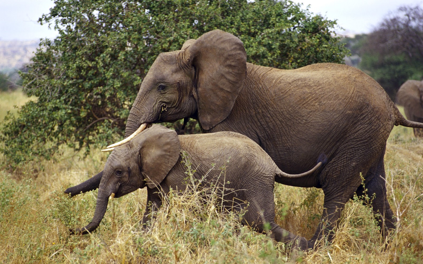 olifanten achtergronden bureaublad - photo #31