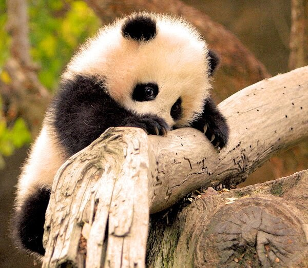 Funny animals of the week - 5 April 2014 (40 pics), baby panda climbs tree branch