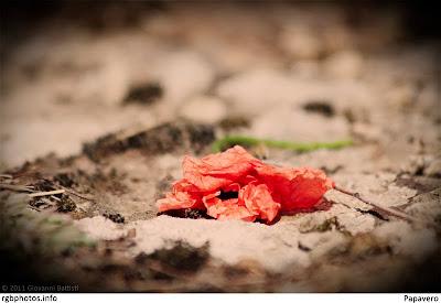 Fotografia di un fiore di papavero schiacciato