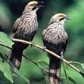 Rahasia Burung Jawara