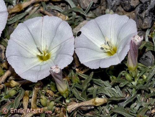 convolvulaceae convolvulaceae convolvulus lineatus flores silvestres del