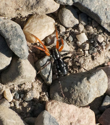 Orange-legged swift spider (Nyssus coloripes)