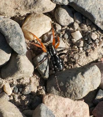 Orange-legged swift spider (Nyssus coloripes)