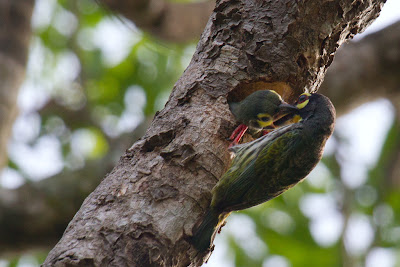 The Coppersmith Barbet phoographed in Anuradhapura, Sri Lanka