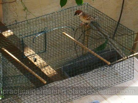 Homemade Bird Trap   Pre Baiting Sparrows   Practical GardeningDay   Bait inside the Sparrow Traps