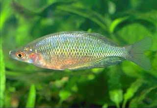 Glossolepis pseudoincisus [Tami River rainbowfish] .