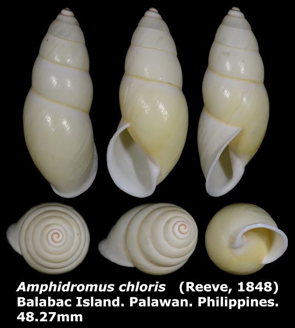 Amphidromus chloris 48.27mm (Lemon white form)