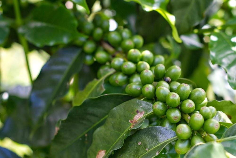 Cacho de café verde. Foto: Yuri Hayashi