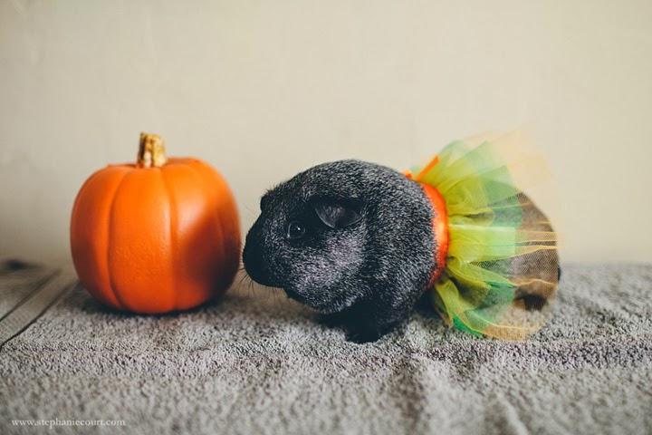 guinea-pig-in-tutu