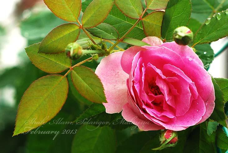 Pink rose mawar merah jambu