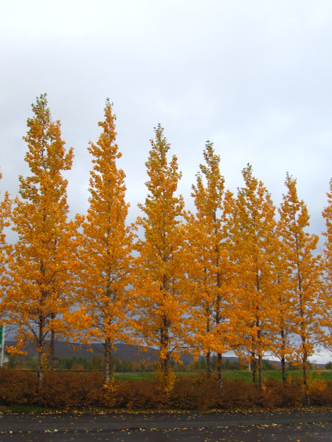 Yellow fall trees in Iceland.