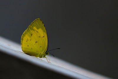 A photograph of a Three-Spot Grass Yellow taken in Anuradhapura, Sri Lanka