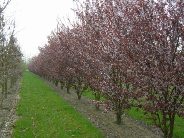Cuidados prunus cerasifera nigra ciruelo rojiso ciruelo for Arboles para jardin japones