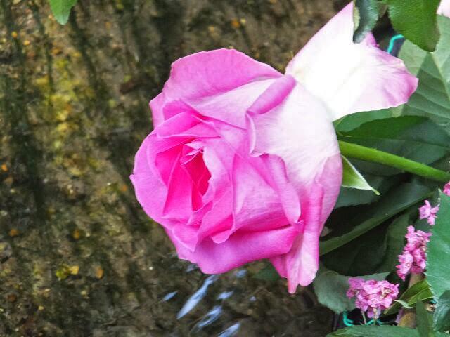水面に美しいバラの花。