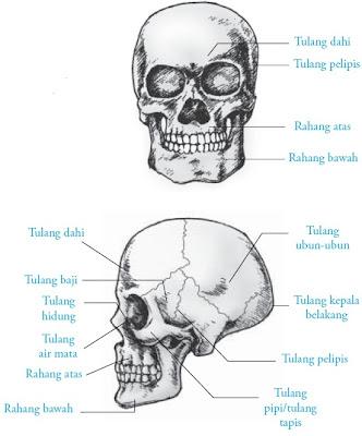 struktur bagian tulang tengkorak manusia