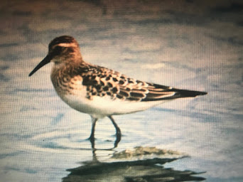 BAIRDS SANDPIPER-FRODSHAM MARSHES-8TH SEPTEMBER 1985
