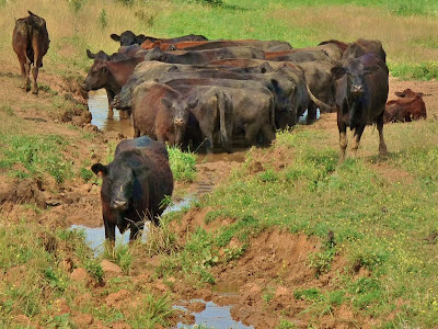 Cows cooling off in the mudhole
