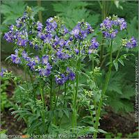 Polemonium caeruleum inflorescences - Wielosił błękitny kwiatostany