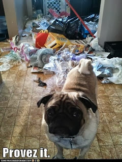 dog shaming, pug shaming, provez it, dog got in trash, crazy dog, pug life