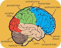 Brain Divisions2