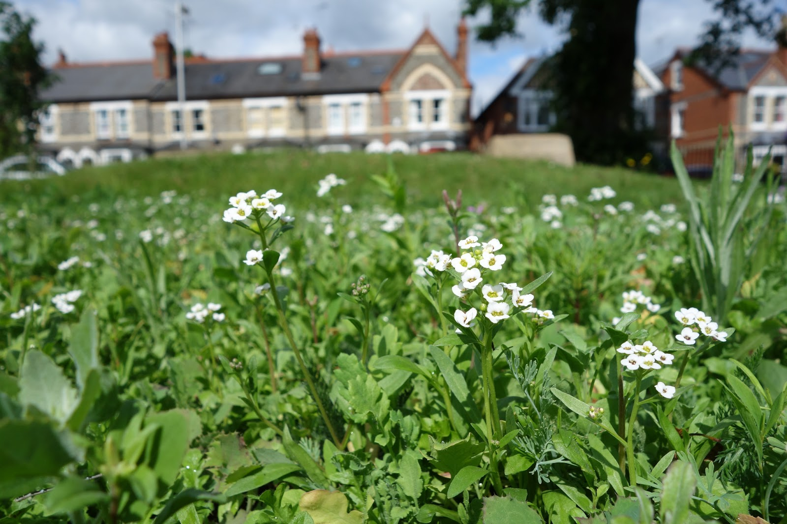 Urban Pollinators What Plants Are Flowering In Our Annual Meadows