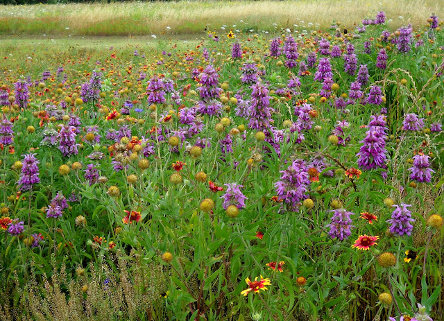 Stunning wildflowers at Winfrey Point, White Rock Lake, Dallas, Texas