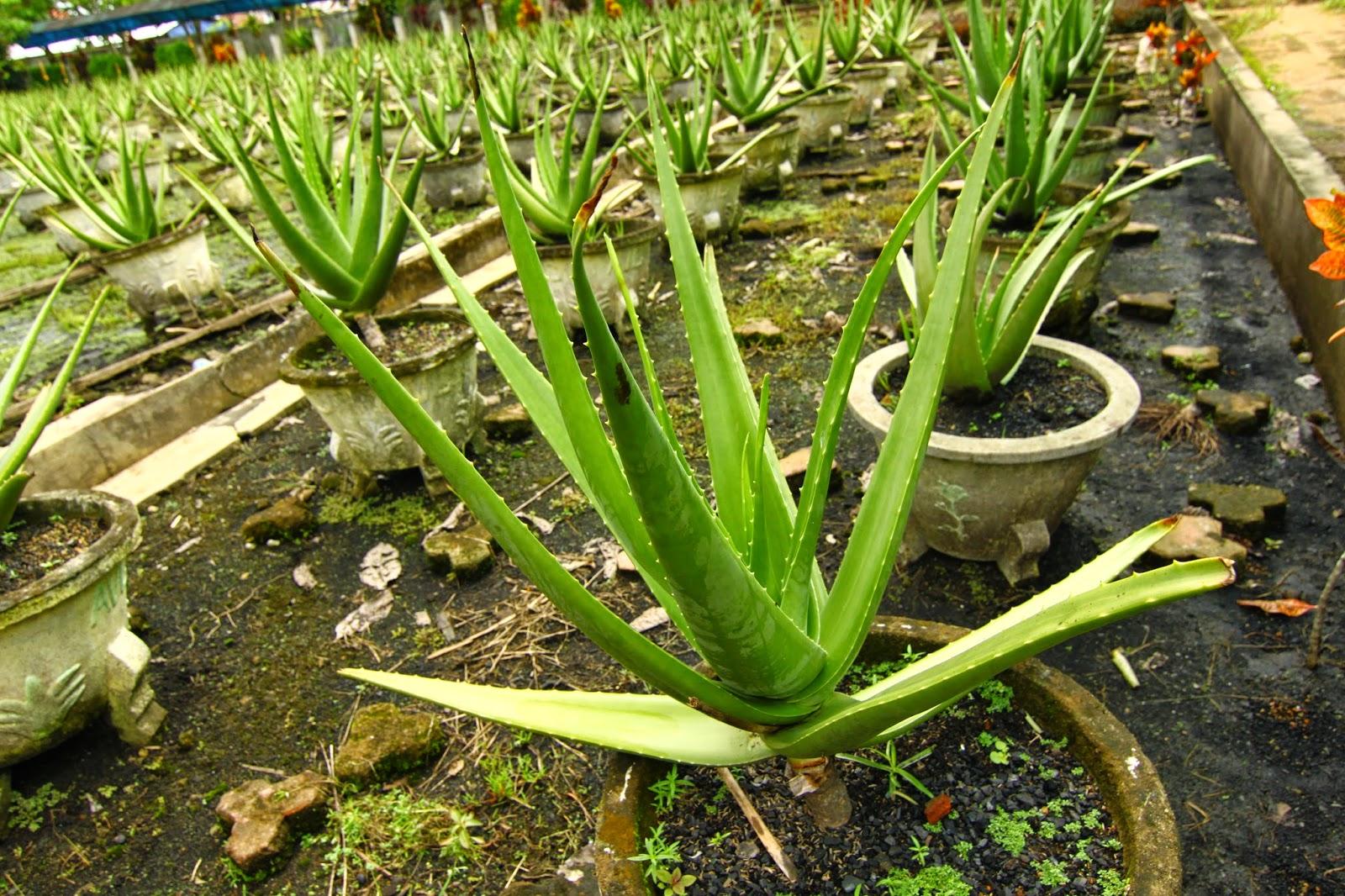 Aloe Vera Centre di bandar Pontianak