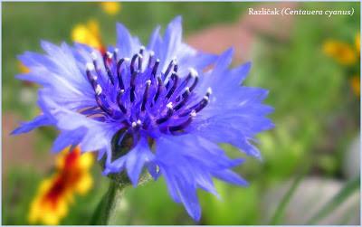 razlicak lekovita biljka