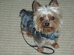 Shorty - our Yorkie