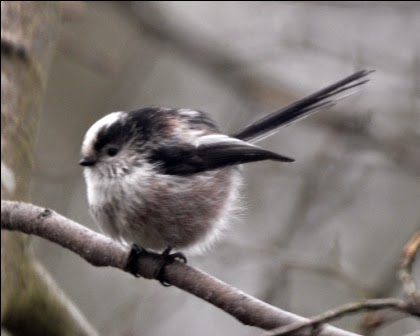 long-tailed tit puffed up to reserve heat