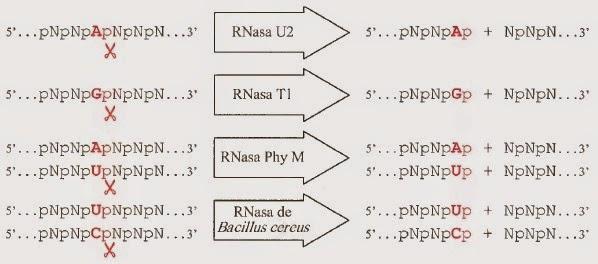 Secuenciación del genoma | Apuntes de Biotecnología