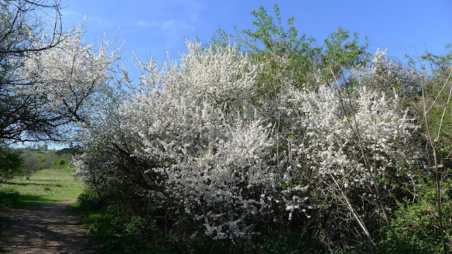 Hawthorn blossom at Stockbridge Down