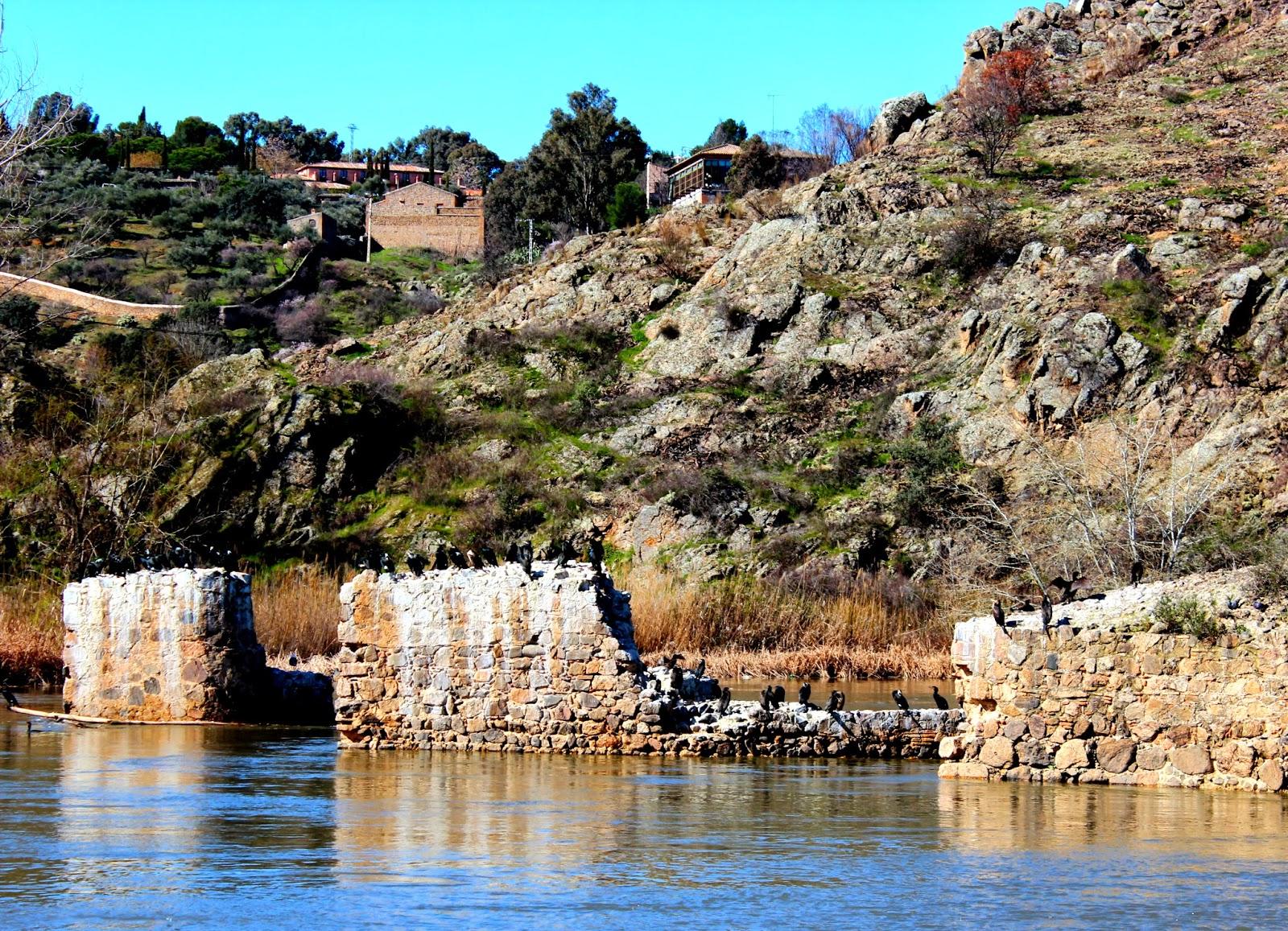 Cormoranes en el río Tajo