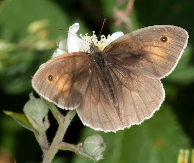 Meadow brown butterfly, Maniola jurtina, on bramble.  Near Well Wood, 11 June 2011.