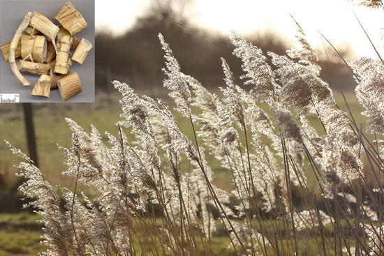 Phragmites communis Trin. (Fam. Poaceae)