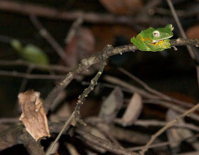 File-eared Tree Frog and Wallace's Flying Frog
