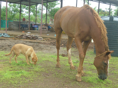 injured stallion and dog at animal shelter karjat