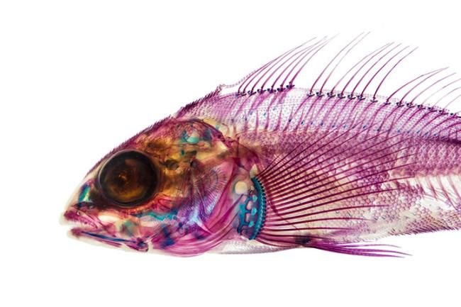 Adam Summers Estructuras anatómicas de peces