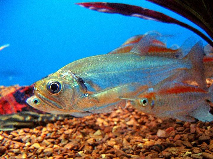Http Fishology Blogspot Com 2012 10 Sabertooth Fish Html