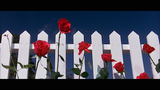 Film Still from Blue Velvet, by David Lynch, of roses against a white picket fence